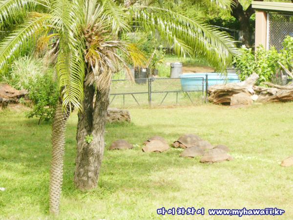 호놀룰루 동물원 거북이