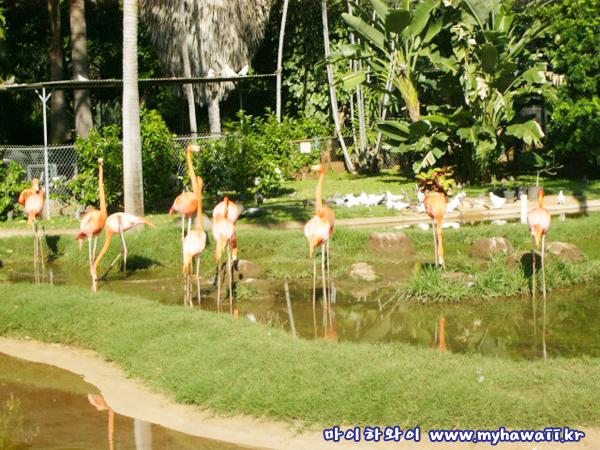 호놀룰루 동물원 홍학