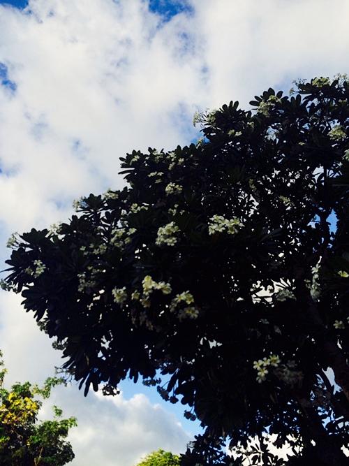 하와이 꽃 플루메리아 Plumeria (6)