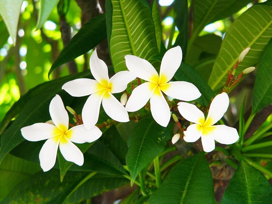 하와이 꽃 플루메리아 Plumeria (5)