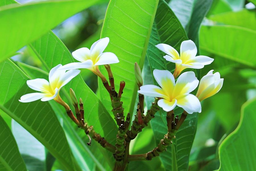 하와이 꽃 플루메리아 Plumeria (2)