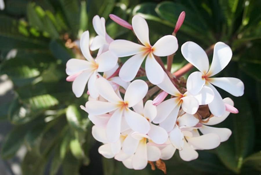 하와이 꽃 플루메리아 Plumeria (3)