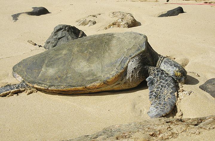 하와이의 법 거북이